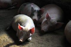 养猪场 免版税图库摄影