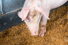养猪场 库存图片