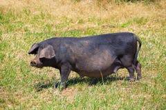 黑猪室外吃草在Menorca巴利阿里群岛 免版税库存图片