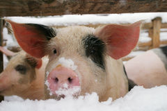 猪小猪 库存图片