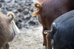 猪尾巴 图库摄影