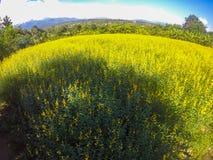 猪屎豆属junceasunn大麻和美丽的天空的黄色领域在Pai,夜丰颂,北泰国 免版税图库摄影
