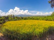 猪屎豆属junceasunn大麻和美丽的天空的黄色领域在Pai,夜丰颂,北泰国 免版税库存图片
