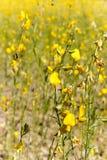 猪屎豆属junceasunn大麻的黄色领域在碧差汶府,北泰国 库存照片