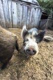 猪是其中任一个在类SU的动物,在均匀用脚尖踢的蹄状家庭猪类内 猪包括家养的猪和它的a 图库摄影