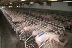 猪母猪在金属笼子放置在一个工业动物农场 库存照片
