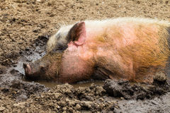 猪泥水特写镜头 免版税图库摄影