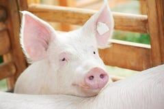 猪流洒了年轻人 库存图片