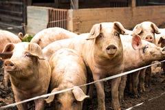 猪牧群在猪繁殖的农场的 库存图片