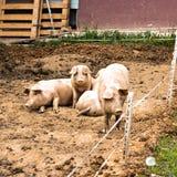 猪牧群在猪繁殖的农场的 免版税库存照片