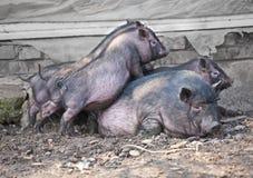 猪猪 免版税库存照片