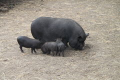 猪用小猪 库存图片