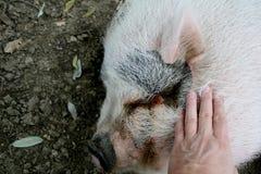 猪由手爱抚了 免版税库存照片