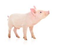 猪白色 免版税库存照片