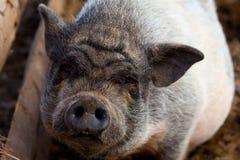 猪的画象 库存图片
