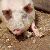猪的画象 库存照片