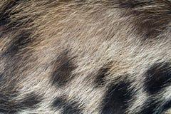猪皮头发纹理 免版税库存照片