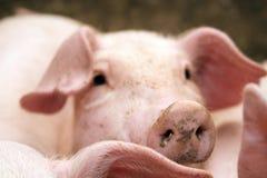 猪稳定 免版税图库摄影