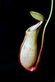 猪笼草一个肉食植物 图库摄影