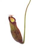 猪笼草一个肉食植物 免版税库存照片