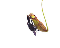 猪笼草有臭虫的一个肉食植物 免版税图库摄影