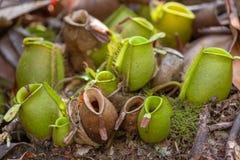 猪笼草,热带捕虫草 免版税库存图片