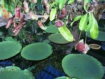 猪笼草alata -热带捕虫草 免版税库存照片