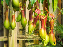 猪笼草ventrata,一个肉食植物 免版税库存照片