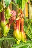 猪笼草ventrata,一个肉食植物 免版税库存图片