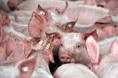 从猪繁殖的农场的小猪 免版税库存照片