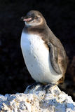 猪肉的企鹅 库存照片