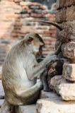 猪被盯梢的猴子、母亲和婴孩 图库摄影