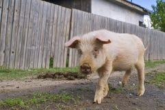 猪逃亡 免版税库存图片