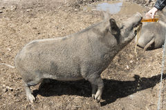 猪饮用的啤酒 免版税图库摄影