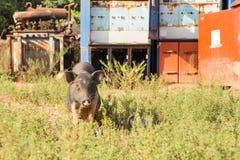 猪,在草背景的特写镜头 免版税库存照片