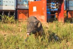 猪,在草背景的特写镜头 图库摄影