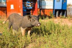 猪,在草背景的特写镜头 库存照片