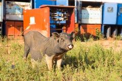 猪,在草背景的特写镜头 库存图片