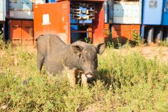 猪,在草背景的特写镜头 免版税库存图片