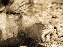 猪,细节(6) 库存照片