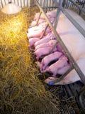猪婴孩在农场的诞生天 库存图片