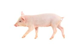 猪 库存照片