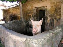 猪 图库摄影