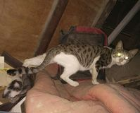 猫🠐 ± 免版税库存照片