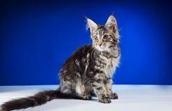 猫与美丽的缨子的缅因浣熊 免版税图库摄影