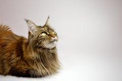 猫与长的美丽的缨子的缅因浣熊在耳朵 免版税库存图片