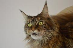 猫与长的美丽的缨子的缅因浣熊在耳朵 库存图片