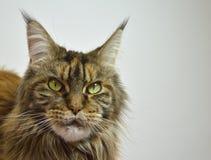 猫与长的美丽的缨子的缅因浣熊在耳朵 图库摄影