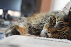 猫与长的美丽的缨子的缅因浣熊在耳朵 库存照片