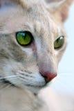 猫东方人纵向 免版税图库摄影